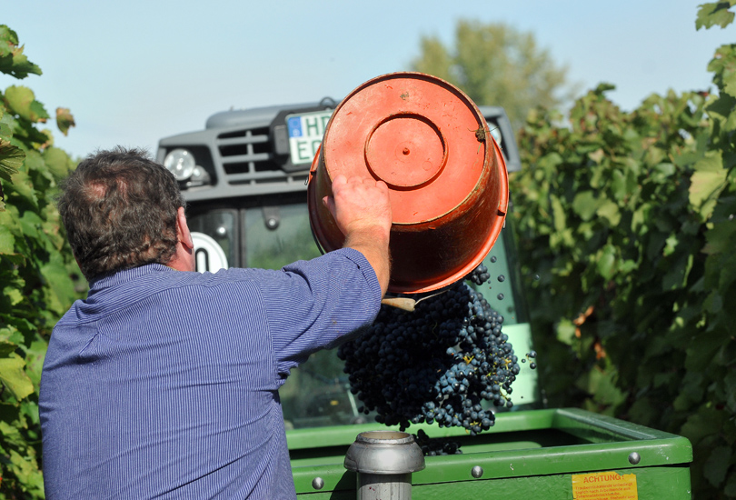 picture of a man throwing grapes in a bin